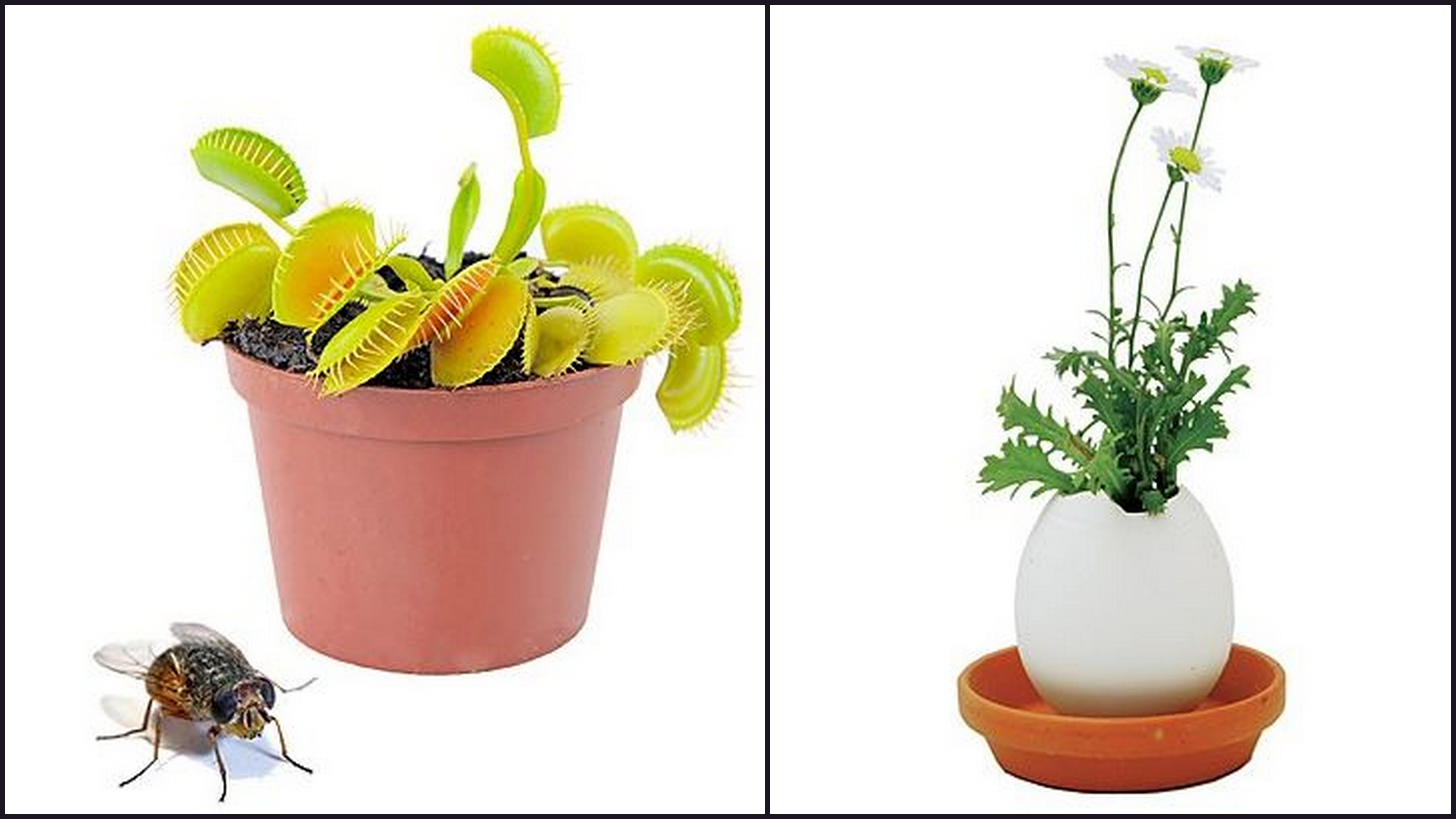 planta japones eggling